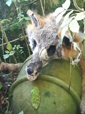 Skull fox soft mount taxidermy pelt fur spook creepy Halloween