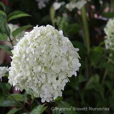Hydrangea Quercifolia Harmony Oak Leafed Hydrangea Autumn Foilage 3 Litre
