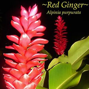 ~RED GINGER~ ALPINIA PURPURATA~ Sml PLANT from HAWAII ~V WELL ESTABLISHED in POT