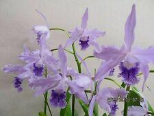 Laelia lobata v. coerulea 'Paulo Hoppe' Chm/Aos species Orchid Plant