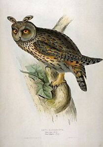 John Gould Native  Birds print tree owl painting Vintage Old Australia art