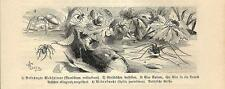 Stampa antica INSETTI RAGNO Theridium redimitum INSECTA 1891 Old antique print