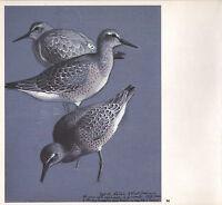 Bella Vintage Uccello Stampa ~ Nodo Alimentare Presso Cob Lago ~