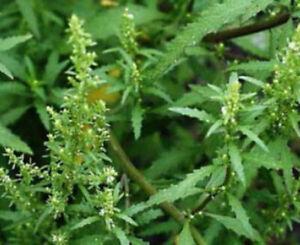 Chenopodium ambrosioides; Dysphania ambrosioides EPAZOTE; MEXICAN TEA 100+ Seed