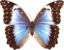 Morpho menelaus coeruleus (= nestira) female Brasil