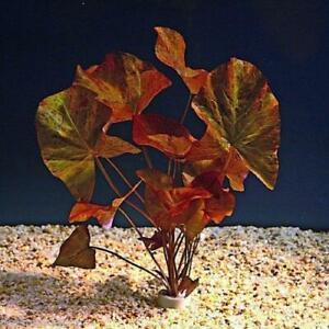 Nymphaea Zenkeri Tiger Lotus Bulb Red Aquarium