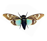 ONE REAL BLUE CICADA TOSENA SPLENDIDA SPREAD MOUNTED PAPERED PACKAGED