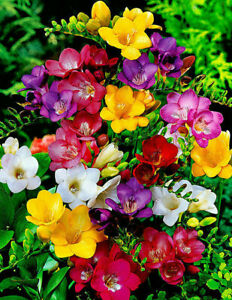1-100 FREESIA MIXED COLOUR SUMMER GARDENING SCENTED FLOWER BULBS/CORMS/TUBER
