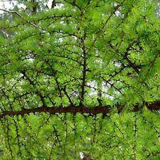 Ruprecht's larch (Larix principis Rupprechtii) 50 seeds