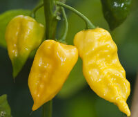 200 Lemon Habanero Seeds Pepper Seeds HOT CHILLI