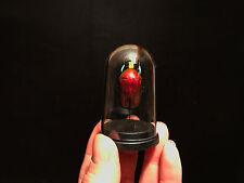 Cabinet de curiosité / Globe insecte Torynorrhina flammea rouge de Thailande!!