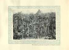 1920 Italy Intensive Production Of Tomatoes In Campania