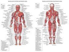 "Human Body Anatomical Chart Muscular System Fabric poster 32"" x 24""  Decor 01"