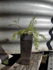 1 x Yarrow plant - tube size Achillea millefolium perennial herb plant