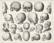 WEIRD! original 1851 steel engraving: a total of 21 SKULLS and BRAINS, anatomy