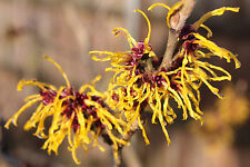 (10) Witch Hazel Seeds - Hamamelis virginiana - American witchhazel Combined S&H