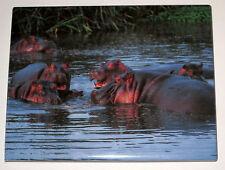 Hippos Magnet Hippopotamus Fridge Realistic Wild Animals Water Swimming New