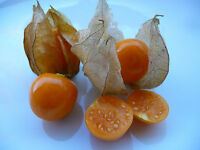 150+ Samen Physalis alkekengi - Lampionblume , Blasenkirsche