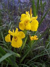10 graines IRIS JAUNE DES MARAIS (Iris Pseudacorus)G363 YELLOW FLAG SEEDS SAMEN