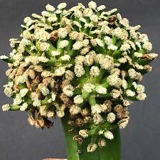1340. Mammillaria bertholdii  / ariocarpus OBREGONIA