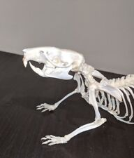 Taxidermy rat skeleton, walking pose(large) CLEARANCE SALE