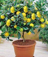 10pcs Organic Lemon Tree Fruit Tree Seeds. Viable & fresh. FREE UK POSTAGE