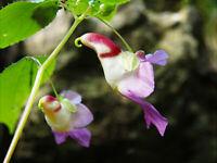 50pcs Parrot Flower (Impatiens Psittacina) Flower Seeds Plant Seed