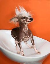 METAL MAGNET Chinese Crested Dog Dogs Orange Background MAGNET