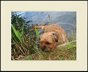 BORDER TERRIER IN WATER CHARMING DOG PRINT MOUNTED READY TO FRAME