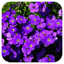 Aubretia 'Audrey Purple Shades' Perennial Large Plug Plants x 6 Trailing
