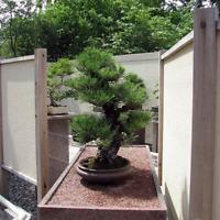 Pinus Thunbergii, Japanese Black Pine, Black Pine, Bonsai, 50 Fresh Seeds
