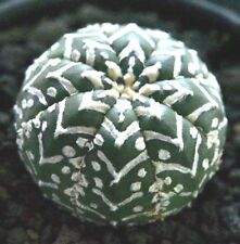 Real Fresh Astrophytum asterias V Type rare japan cactus 10 SEED