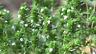 Common Thyme Seeds, Thymus bulgaris, NON-GMO, Variety Sizes, FREE SHIPPING