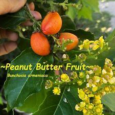 ~Peanut Butter Fruit Tree~ Bunchosia Armeniaca Monk's Plum Live Sml Potted Plant