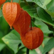 Lampionblume, Winterkirsche, ausdauernd frostfest, Jungpflanze