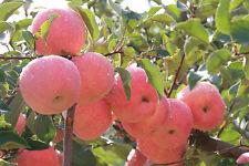 20PCS Bonsai Apple Tree Seeds Home Garden Yard Outdoor Living Fruit Plant  BG64