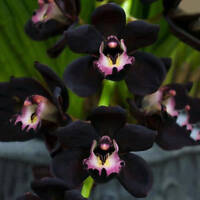 100pcs Rare Black Cymbidium Faberi Orchid Flower Seeds Home Garden Decor