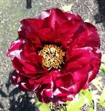 1x Paeonia suffruticosa / Tree Peony KRONOS - peonies RARE, Chinese Rose peonie