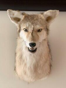 Impressive Coyote / Wolf Head Mount Taxidermy Art
