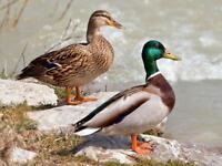 MALLARD DUCK GLOSSY POSTER PICTURE PHOTO PRINT bird green head dabbling 4841