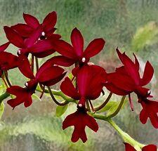 Calanthe species 'Ruby Stars' blühfähige pianta orchidee orchidee