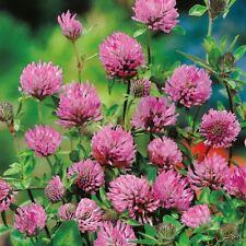Suffolk Hierbas-Orgánico Trébol Rojo - 500 semillas
