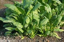 100 SPINACH SEEDS OR PALAK ( VEGETABLE SEEDS)