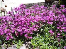 1,000 + Creeping Thyme Seeds Ground Cover PERENNIAL