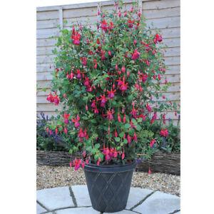 6 Climbing Hardy Fuchsia Pink Fizz  Perennial Basket Patio Plug Plants