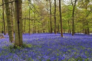 Bluebell Woods Greys Court Oxfordshire England Photograph Picture Poster Print