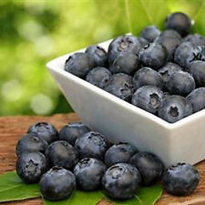 50Pcs Rare Blueberry Tree Seeds Fruit Blueberry Seed Potted Bonsai Seeds Plant