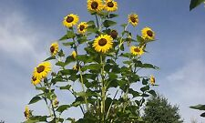 Sunflower #19 Yellow with brown centers. LOOKS LIKE A TREE!. 9 Ft tall  15 Seeds