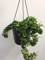 Hoya carnosa Compacta Hindu Rope Wax House Plant 15cm hanging pot
