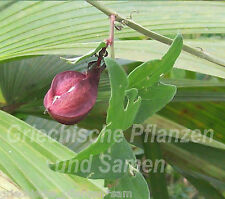 PASSIFLORA capsularis Passionsblume BIANCO 5 SEMI